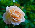 186 365 - Just a rose (3602286107).jpg