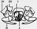 1911 Britannica-Arachnida-Cryptostemma Karschii2.png