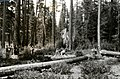 1923. Felling a group of beetle killed trees. Southern Oregon Northern California (SONC) western pine beetle control project. (36356853475).jpg