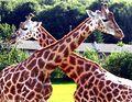 2006 09 09 Die X-Giraffen -ubt-.jpeg