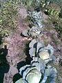 2011.10.03 - Brassica oleracea convar. capitata povar. capitata Gloria F1 - 1.jpg
