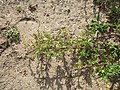 20120731Chenopodium album3.jpg