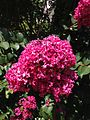 2013-08-17 13 01 11 Closeup of Crape Myrtle on Linwood Avenue in Ewing, New Jersey.jpg