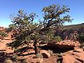 2013-09-23 16 13 02 Pinus edulis near Goosenecks Overlook in Capitol Reef National Park.JPG