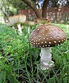 2014-03-18 Amanita pantherina group 621833.jpg