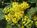20140317Mahonia aquifolium3.jpg