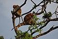 2014 Borneo Luyten-De-Hauwere-Proboscis monkey-06.jpg