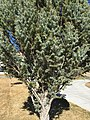 2015-03-27 15 51 56 Closeup of an upright Blue Spruce at Great Basin College in Elko, Nevada.JPG