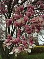 2015-04-10 07 39 44 Saucer Magnolia blossoms on Hoga Road in Sterling, Virginia.jpg