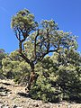 2015-04-28 10 42 36 An older Single-leaf Pinyon in South Fork Maverick Canyon, Nevada.jpg