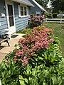 2015-05-17 14 41 49 'Rosebud' Azaleas and Purple Rhododendrons blooming along Terrace Boulevard in Ewing, New Jersey.jpg
