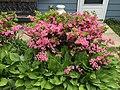 2015-05-18 12 56 49 'Rosebud' Azalea blooming and Hostas along Terrace Boulevard in Ewing, New Jersey.jpg