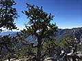 2015-07-13 09 11 13 A Great Basin Bristlecone Pine along the North Loop Trail about 7.3 miles west of the trailhead in the Mount Charleston Wilderness, Nevada.jpg