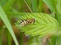 2015.05.24.-06-Buchklingen--Gemeine Garten-Schwebfliege-Weibchen.jpg