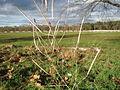 20150202Diplotaxis tenuifolia1.jpg