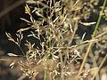 20151001Agrostis capillaris2.jpg