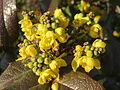 20160224Mahonia aquifolium2.jpg