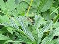 2017-07-22 (24) Miramella alpina (green mountain grasshopper) at plant in Dürrenstein (Ybbstaler Alpen).jpg