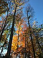 2017-11-10 15 58 28 View up into the canopy of several trees during late autumn within Hosepen Run Stream Valley Park in Oak Hill, Fairfax County, Virginia.jpg