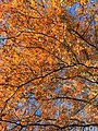 2017-11-24 14 09 26 View up into the canopy of a Pin Oak in late autumn along Thorngate Court in the Franklin Farm section of Oak Hill, Fairfax County, Virginia.jpg