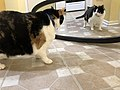 2020-01-19 18 04 41 A Calico cat reacting to a mirror in the Franklin Farm section of Oak Hill, Fairfax County, Virginia.jpg
