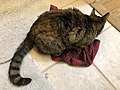 2020-05-05 18 02 49 A tabby cat lying on a pair of boxer shorts in the Franklin Farm section of Oak Hill, Fairfax County, Virginia.jpg