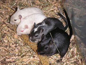 Mongolian gerbil - Pet gerbils eating millet