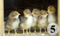 5 chicks - Take five-n-(commons).png