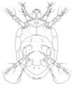 ACAR Tarsonemidae Polyphagotarsonemus latus2.png