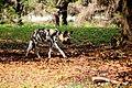 AFRICAN WILD DOG (14053397744).jpg