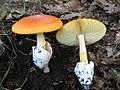 AMANITA CAESAREA (Scorp. Fr.) Quelet (5981754604).jpg