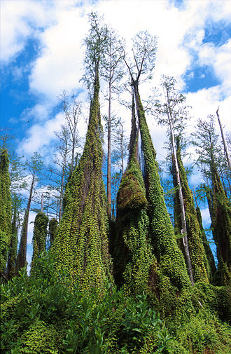 "Restoration of the Everglades - Climbing ferns overtake cypress trees in the Everglades. The ferns act as ""fire ladders"" that can destroy trees that would otherwise survive fires."