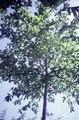 ASC Leiden - F. van der Kraaij Collection - 05 - 050 - An almond tree - Monrovia, Montserrado, Liberia, 1976.tif