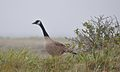 A Canada goose at the Nantucket National Wildlife Refuge, MA. Credit- Amanda Boyd-USFWS (5974496927).jpg