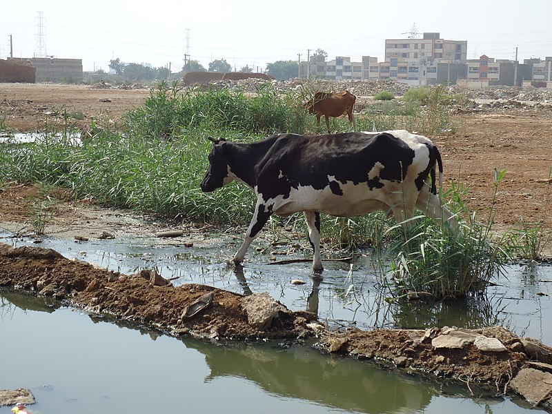 پرونده:A Cow In Ahwaz.JPG