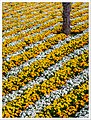 A Sea Of Flowers (III) (38246982742).jpg