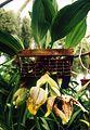 A and B Larsen orchids - Stanhopea tigrina 669-6.jpg