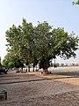 A banyan tree in Moga 02.jpg
