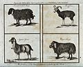 A broad tailed sheep, a moufflon, a Syrian goat and a Cape s Wellcome V0022878.jpg