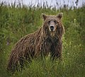 A grizzly bear hunts for ground squirrels just past Eielson Visitor Center on July 19, 2019. (8f6c43bf-cdae-4b69-a5d7-d36cc1324bd4).JPG
