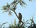 A juvenile buzzard at Caitha Hill - geograph.org.uk - 1392834.jpg
