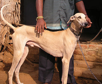 Chippiparai - Male Puppy
