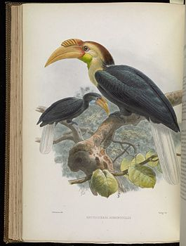 A monograph of the Bucerotidæ, or family of the hornbills (Plate XXXVI) BHL38534653.jpg