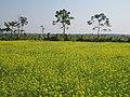 A mustard field in Tezpur, Assam.jpg