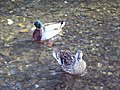 A pair of Mallard (Anas platythynchos) - geograph.org.uk - 448183.jpg