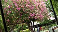 A pink tree.jpg