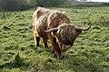 A placid Highland bull grazing near Hatton locks (2) - geograph.org.uk - 1587820.jpg