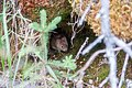 A vole peeks out from its home among moss (579aa6a2-dafd-4abe-98d2-a952bd90299f).jpg