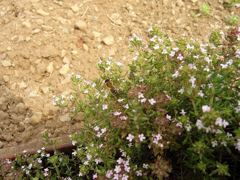 Plante mellif re le thym apiculture le blog d 39 un apiculteur fran ais - Quand ramasser le thym ...