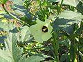 Abelmoschus esculentus2.jpg